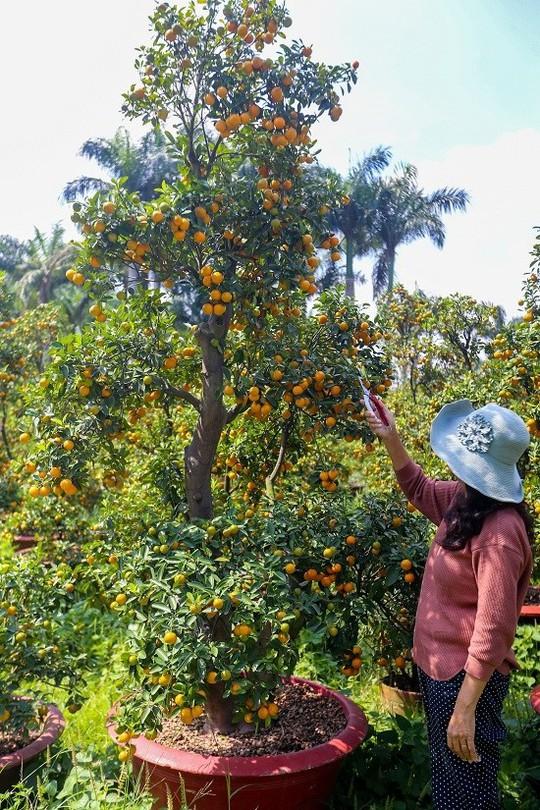 Tắc kiểng cho thuê giá 50 triệu đồng một cây ở Sài Gòn - Ảnh 6.