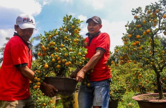 Tắc kiểng cho thuê giá 50 triệu đồng một cây ở Sài Gòn - Ảnh 9.