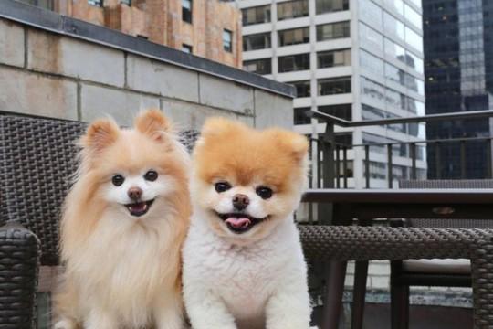 Chú chó Boo đáng yêu nhất thế giới qua đời - Ảnh 2.