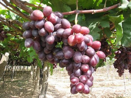 Phân biệt trái cây ngậm hóa chất tránh mua nhầm dịp Tết - Ảnh 8.