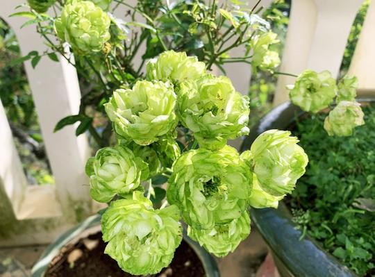 Hoa hồng xanh, sung Mỹ, dưa pepino Đà Lạt gây sốt dịp Tết Kỷ Hợi - Ảnh 4.