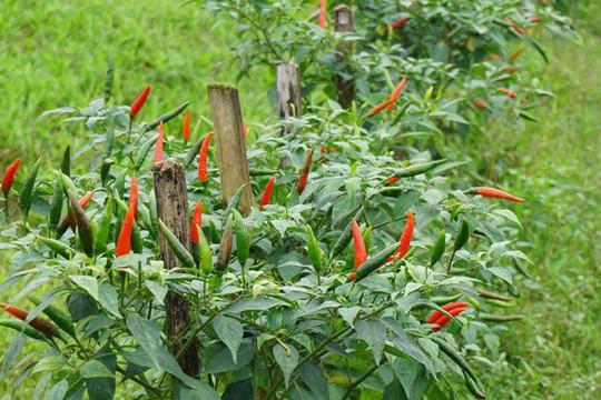 Trồng ớt trái vụ đón Tết, nông dân thu gần 1 triệu đồng mỗi ngày - Ảnh 2.