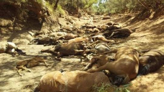 Úc: Hạn hán, ngựa chết la liệt trong vũng nước cạn khô - Ảnh 2.