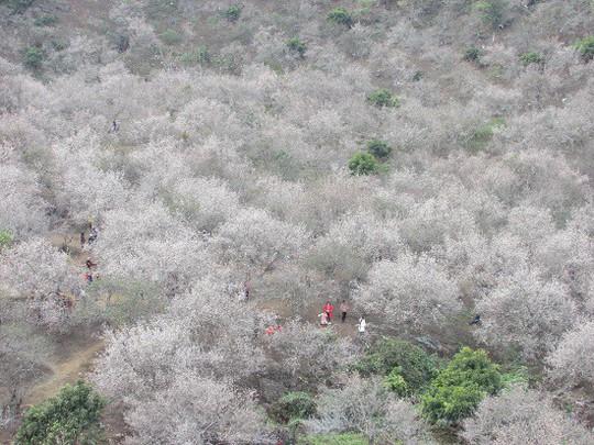 Cao nguyên Mộc Châu chìm đắm trong màu trắng hoa mơ - Ảnh 4.