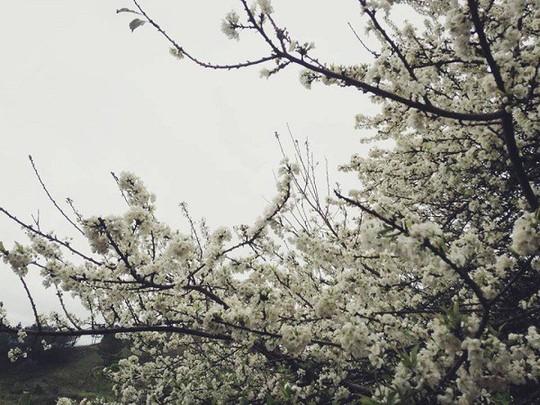 Cao nguyên Mộc Châu chìm đắm trong màu trắng hoa mơ - Ảnh 6.