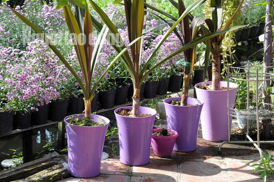 Lão nông 70 tuổi tiết lộ lí do trồng toàn hoa kiểng màu tím, thu hơn 15 tỉ/năm - Ảnh 9.