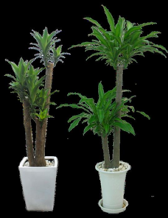 Cây trồng trong nhà mang lại tài lộc và sức khỏe năm mới - Ảnh 2.