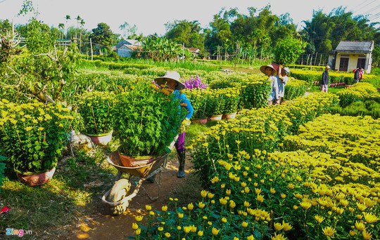 Ngắm làng hoa Tết lớn nhất miền Trung - Ảnh 7.