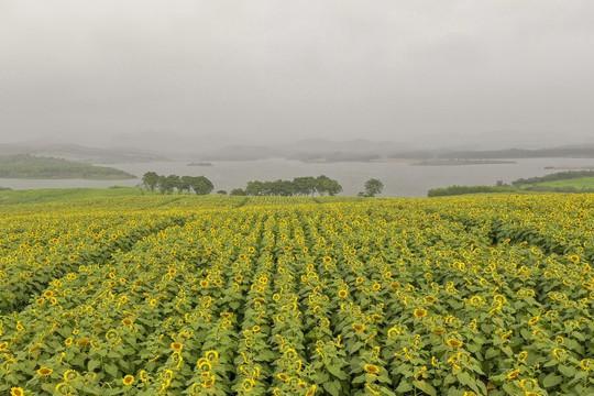 Mãn nhãn ngắm cánh đồng triệu bông hoa hướng dương bung nở ở Nghệ An - Ảnh 1.