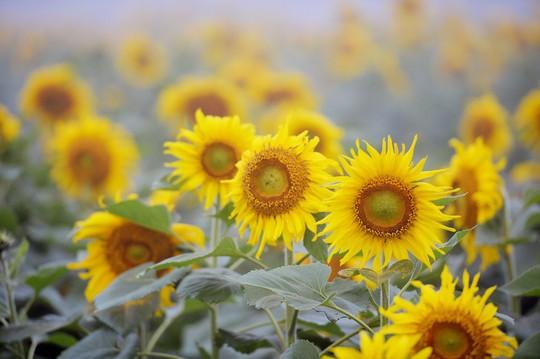 Mãn nhãn ngắm cánh đồng triệu bông hoa hướng dương bung nở ở Nghệ An - Ảnh 2.