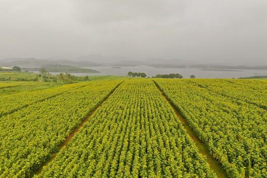 Mãn nhãn ngắm cánh đồng triệu bông hoa hướng dương bung nở ở Nghệ An - Ảnh 3.