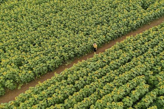 Mãn nhãn ngắm cánh đồng triệu bông hoa hướng dương bung nở ở Nghệ An - Ảnh 5.
