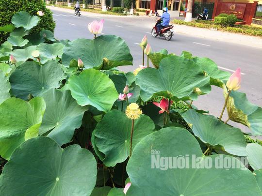 Độc đáo những tuyến đường đầy hoa ở đất Sen hồng Đồng Tháp - Ảnh 10.
