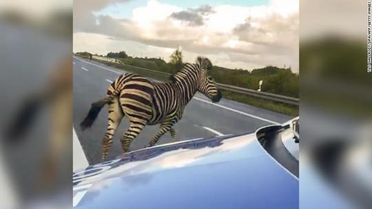 Ngựa vằn đại náo đường cao tốc, xe hơi đâm nhau hư hỏng - Ảnh 1.