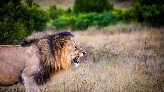 Đàn sư tử bị giết hại tàn ác để làm ma thuật ở Nam Phi - Ảnh 1.
