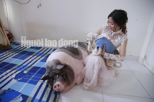 Chuyện lạ: Trước khi về nhà chồng, cô dâu chăm chú heo nặng 160kg trong phòng - Ảnh 1.