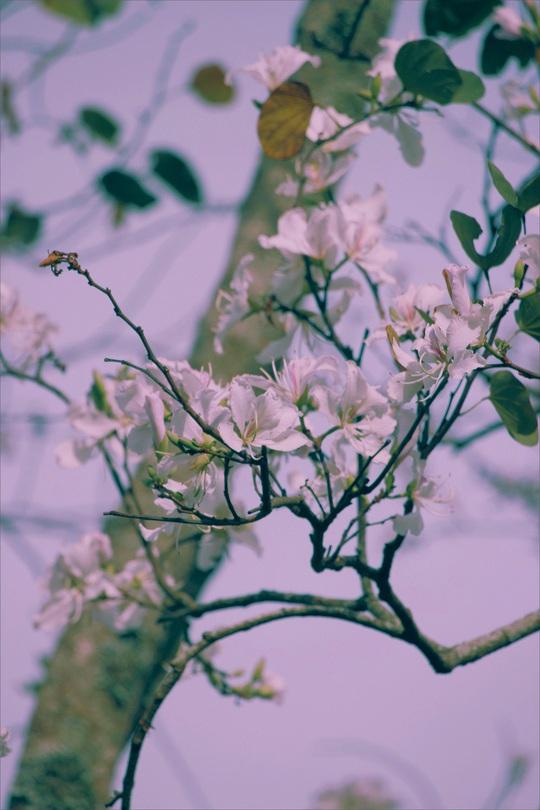 Đến Đà Lạt ngắm những bông hoa tuyết trắng - Ảnh 1.