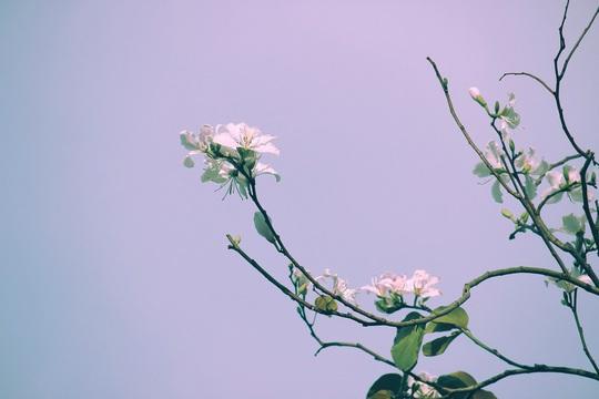 Đến Đà Lạt ngắm những bông hoa tuyết trắng - Ảnh 2.