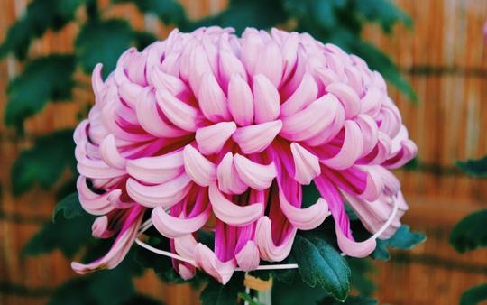 Rủ nhau ngắm hoa anh đào, nhiều người nhầm tưởng về quốc hoa Nhật Bản - Ảnh 4.