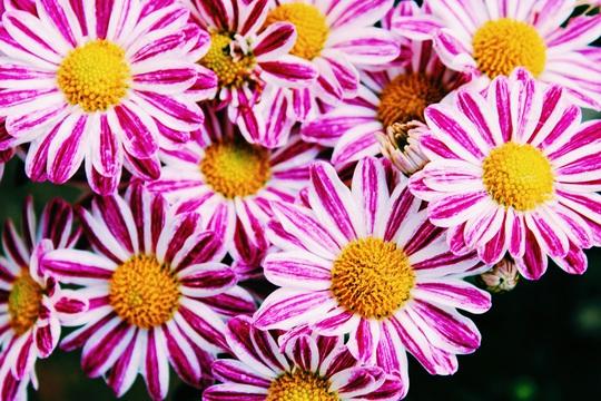 Rủ nhau ngắm hoa anh đào, nhiều người nhầm tưởng về quốc hoa Nhật Bản - Ảnh 6.