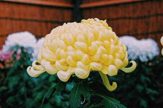 Rủ nhau ngắm hoa anh đào, nhiều người nhầm tưởng về quốc hoa Nhật Bản - Ảnh 1.
