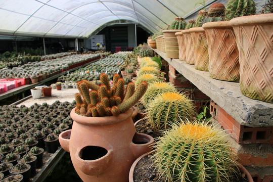 Ngắm khu vườn có hơn 1.000 chủng loại xương rồng độc, lạ chuẩn bị đón Tết - Ảnh 6.