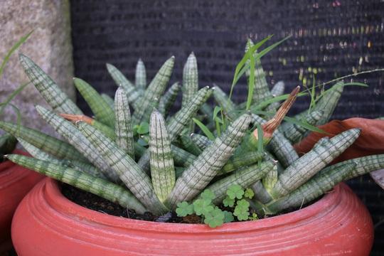 Ngắm khu vườn có hơn 1.000 chủng loại xương rồng độc, lạ chuẩn bị đón Tết - Ảnh 10.