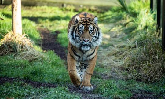 Hổ Sumatra đực giết con cái ngay lần hẹn hò đầu tiên - Ảnh 1.