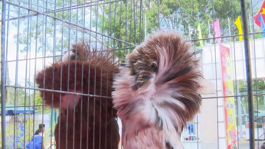 Ngắm những chú chim bồ câu giá trăm triệu khoe dáng - Ảnh 5.