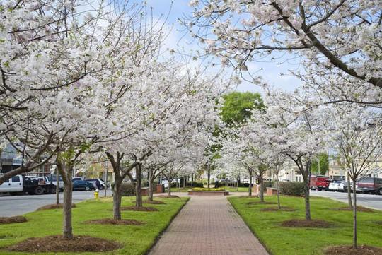 Ba thành phố có mùa hoa anh đào nổi tiếng nhất thế giới - Ảnh 1.