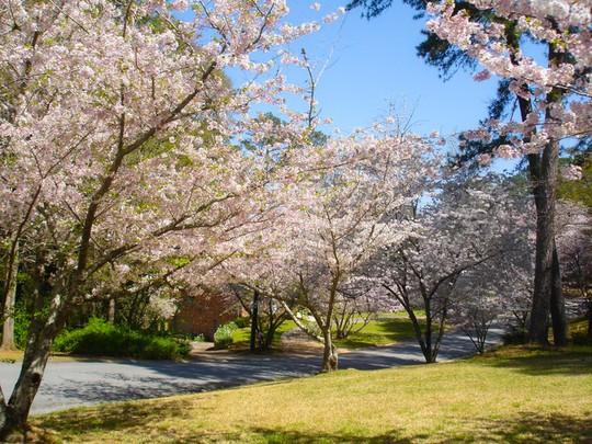 Ba thành phố có mùa hoa anh đào nổi tiếng nhất thế giới - Ảnh 2.