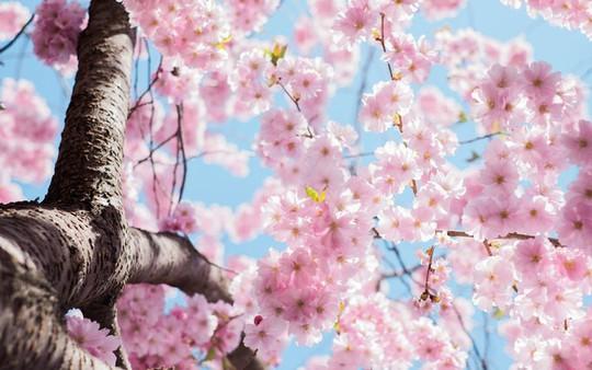 Ba thành phố có mùa hoa anh đào nổi tiếng nhất thế giới - Ảnh 3.