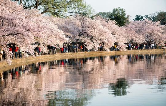 Ba thành phố có mùa hoa anh đào nổi tiếng nhất thế giới - Ảnh 4.
