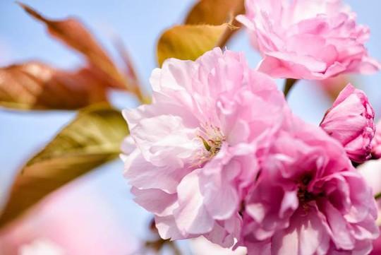 Ba thành phố có mùa hoa anh đào nổi tiếng nhất thế giới - Ảnh 5.