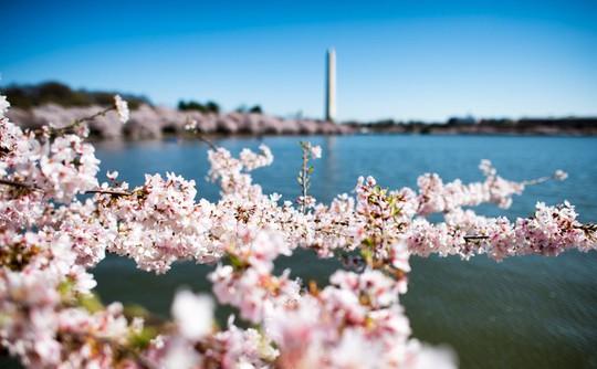 Ba thành phố có mùa hoa anh đào nổi tiếng nhất thế giới - Ảnh 6.