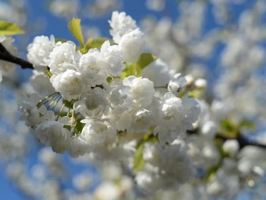 Ba thành phố có mùa hoa anh đào nổi tiếng nhất thế giới - Ảnh 9.