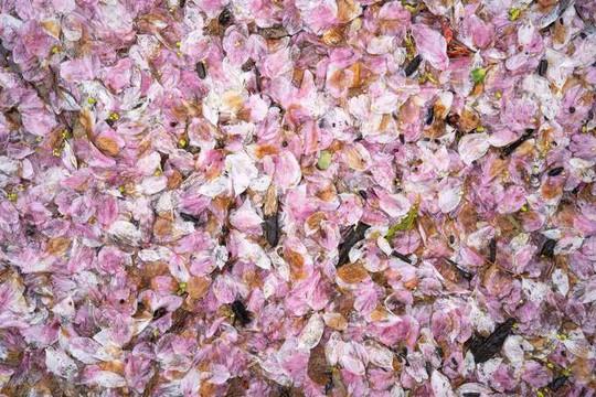 Ba thành phố có mùa hoa anh đào nổi tiếng nhất thế giới - Ảnh 10.