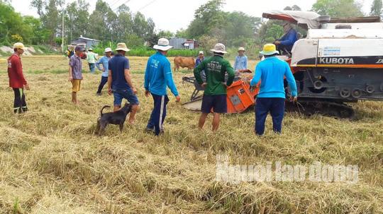 Người dân chạy theo máy gặt đập liên hợp chờ bắt chuột đồng