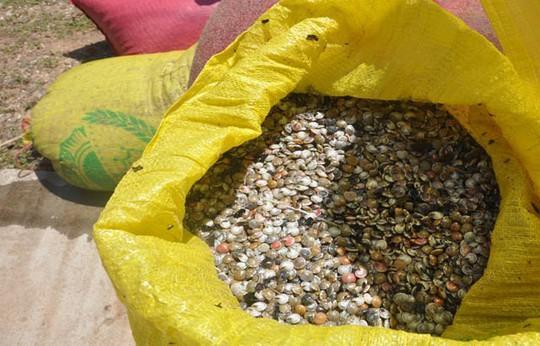 Quảng Ngãi: Ốc bé tẹo nhưng mang tiền triệu cho ngư dân - Ảnh 6.