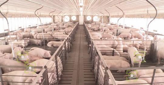 Trung Quốc: Áp dụng công nghệ nhận diện khuôn mặt vào chăn nuôi lợn - Ảnh 1.