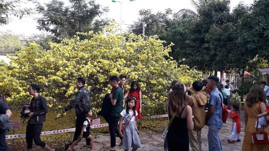 Hàng ngàn người đến thưởng lãm cây mai khủng ở Đồng Nai - Ảnh 3.