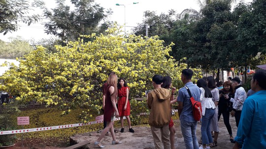 Hàng ngàn người đến thưởng lãm cây mai khủng ở Đồng Nai - Ảnh 1.