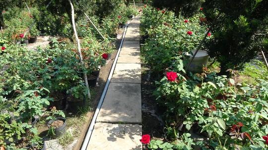 Du Xuân ngắm vườn hoa hồng lớn nhất miền Tây - Ảnh 6.