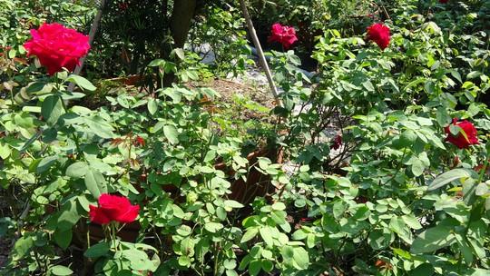 Du Xuân ngắm vườn hoa hồng lớn nhất miền Tây - Ảnh 8.