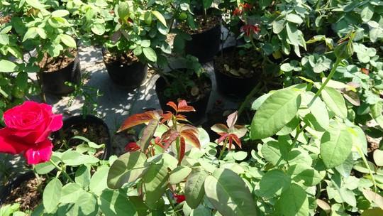 Du Xuân ngắm vườn hoa hồng lớn nhất miền Tây - Ảnh 9.