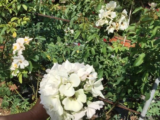 Du Xuân ngắm vườn hoa hồng lớn nhất miền Tây - Ảnh 12.
