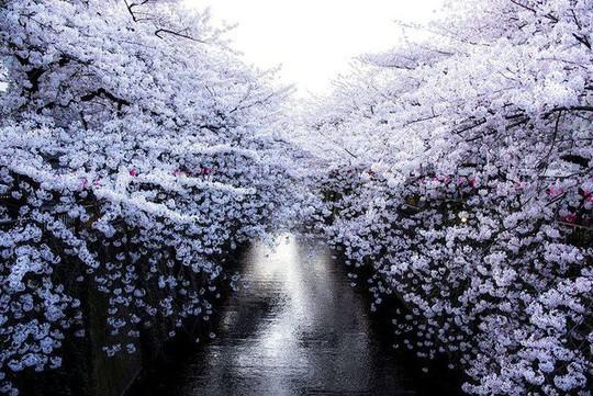10 bức ảnh khiến bạn muốn đi ngắm hoa anh đào ngay lập tức - Ảnh 4.