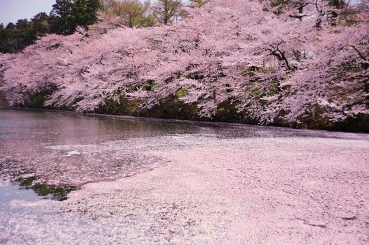 10 bức ảnh khiến bạn muốn đi ngắm hoa anh đào ngay lập tức - Ảnh 6.
