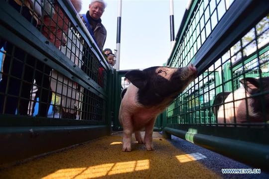 Du khách chen chân trẩy hội, xem đua lợn dịp Tết - Ảnh 8.