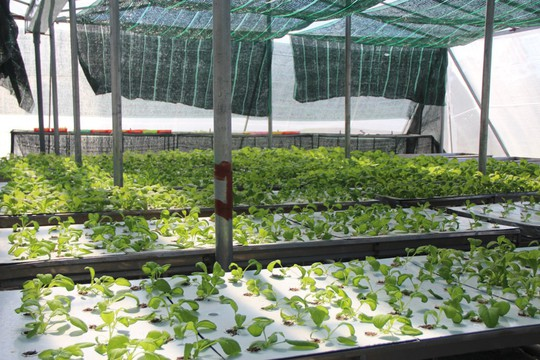 """Đầu năm, thăm trang trại rau sạch ở """"đảo ngọc"""" Phú Quốc - Ảnh 5."""